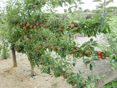 Article adapted from November issue of BL Magazine. I have a not-so-secret mission to temp and persuade as many people as possible to grow fruit. Any birthday presents I give tend to be of the fru...
