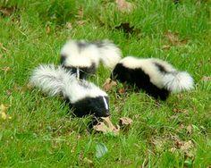 Marvelous Natural Skunk Repellent Weu0027re Having A Bit Of A Problem.