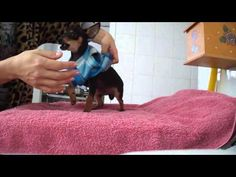 quando un pinscher si arrabbia è meglio stare attenti! #pinscher #dogs #cani