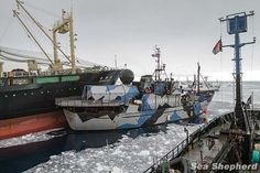 Saving whales in the Antarctic! Operation Zero Tolerance Collision Statement - Sea Shepherd Australia  23Feb 2013:  It is well documented & indisputable that the Nisshin Maru has rammed three Sea Shepherd ships & their own fuel tanker. Captain of the Nisshin Maru, Tomoyuki Ogawa, risked over a hundred lives Feb 20, 2013, & has not had to answer to anyone for his reckless actions…