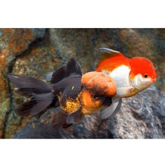 Fantail goldfish assorted petsmart aquarium for Petsmart fish guarantee
