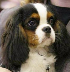 Cavalier King Charles Spaniel  Tri color with wide white blaze