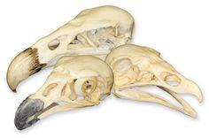 Resultado de imagen para vulture turkey skull