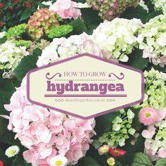 how to grow hydrangea in the garden or in a pot #flower #hydrangea #garden #yard #shade #aboutthegarden #spring #gardeningaustralia #vintage #likegrandmausetohave