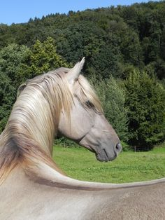 Too Much. Rocky Mountain Horse. Homozygous Silver Smokey Grulla Stallion living in Switzerland