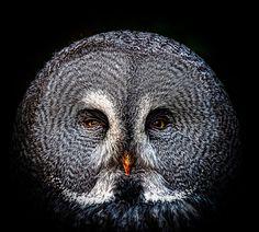 """Great Grey Owl (by shotreverseshot)"""