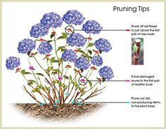 #Pruning #HYDRANGEA - Popular ornamental plants | kinds of ornamental plants