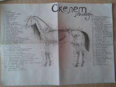 Плод трехдневных трудов... для изучения анатомии лошади.