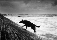 "hauntedbystorytelling: "" Michel Vanden Eeckhoudt :: from Dogs, France, 1994 / more [+] by this photographer "" History Of Photography, Street Photography, Vintage Photography, Black German Shepherd Dog, Black And White Dog, Lurcher, Wild Dogs, Photo Black, Michel"