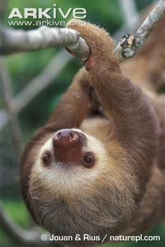 Southern two-toed sloth