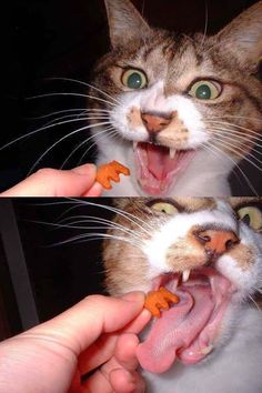A nom! - LOLcats is the best place to find and submit funny cat memes and other silly cat materials to share with the world. We find the funny cats that make you LOL so that you don't have to. Funny Cat Memes, Funny Cats, Funny Animals, Cute Animals, Hilarious, Funny Minion, Silly Cats, Cats And Kittens, Crazy Cat Lady