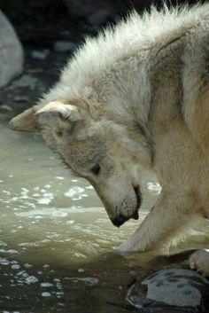 The Wolf. Playful and fierce. My spirit animal Animals And Pets, Funny Animals, Cute Animals, Wolf Pictures, Animal Pictures, Beautiful Creatures, Animals Beautiful, Tier Wolf, Wolf Love