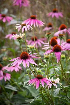 Credit: Jonathan Buckley/Photograph Jonathan Buckley Rather than dotting plants about, prairie gardens group masses of plants in drifts, creating contrasts of height, texture and form. North American native Echinacea purpurea is a popular choice.