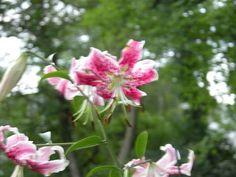 Lilium 'Star Gazer' (Oriental Lily)