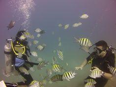 Sergeant majors in Sousa Bay, DO North Coast, Diving, Rio, Pets, Travel, Animals, San Juan, Viajes, Animales