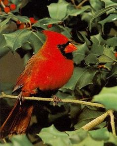 Cardinal in Holly!