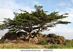 Find Monterey Cypress Trees stock images in HD and millions of other royalty-free stock photos, illustrations and vectors in the Shutterstock collection. Thousands of new, high-quality pictures added every day.