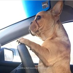 with one exception, I can't reach to peddles! Mini French Bulldogs, French Bulldog Facts, French Bulldog Blue, French Bulldog Puppies, Cute Puppies, Cute Dogs, Dogs And Puppies, Doggies, Brindle Boxer
