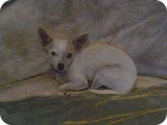 Glastonbury, CT - Chihuahua/Fox Terrier (Toy) Mix. Meet Linus - Local a Dog for Adoption.