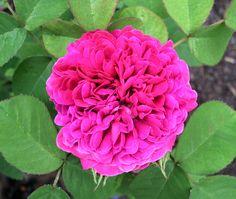 'Rose de Resht' by Ken Lovely