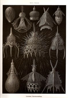 Coral illustration by Ernst Haeckel