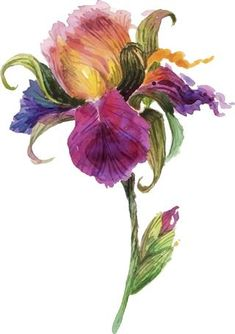 Illustration about Beautiful watercolor iris flower. Illustration of postcard, colorful, garden - 54064447 Watercolor Cards, Watercolour Painting, Watercolor Flowers, Watercolors, Art Floral, Illustration Blume, Plant Drawing, Iris Drawing, Iris Flowers