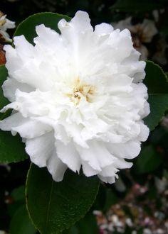 October Magic™ Ivory Camellia
