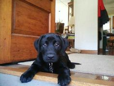 My baby boy...10 weeks old in this picture.  Black lab puppies are so adorable!
