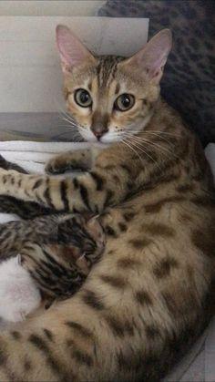 Bengal Cats, Cats And Kittens, Cute, Animals, Animales, Animaux, Kawaii, Animal, Animais