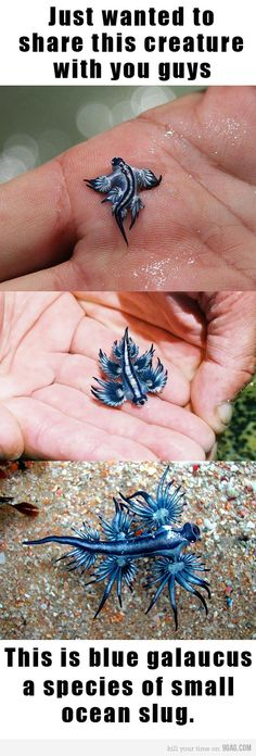 Glaucus atlanticus (common names: sea swallow, blue glaucus)