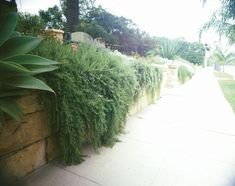 Rosemary: Pick 3 in. to 6 in. from one branch rather than shorter lengths from many tips.