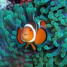 clown fish on anemone Saltwater Aquarium Beginner, Saltwater Aquarium Fish, Saltwater Tank, Colorful Fish, Tropical Fish, Salt Water Fish, Sea Anemone, Fotografia Macro, Animals