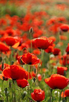 poppy field, springtime in Israel