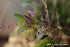 This Lepanthopsis astrophora 'Stalky' specimen is flowering inside my BiOrbAir terrarium. Pictured here on the 23rd October 2016. This diminutive miniature orchid has a large number of open blooms, as well as a large number of buds which are still to open.