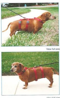 Harness for Dachshunds and Small Breeds. Cats too *** You can get more details by clicking on the image. (This is an affiliate link and I receive a commission for the sales)