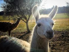 Around lake Garda... for a sec I thought I was in Peru... #lama #animals #tonycorocher #gardalake #countrylife #llama #tonycorocherphotography  My Print Shop: http://ift.tt/2hWgNkR My Web Site: http://ift.tt/260OfKI .........................................................................  Tony Corocher | All Rights Reserved | Please be respectful of copyright | Unauthorized use prohibited.