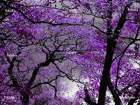 pretty purple trees