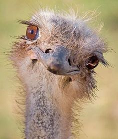 This is literally the only picture I've ever seen of an ostrich that didn't look like it wanted to murder me in a variety of creative ways.