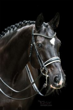 Gorgeous black horse portrait photo