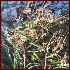 #seedpods #driedflowers #roadside Photos from my travels
