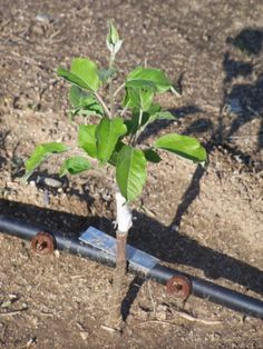 Growing Apple Trees From Seed. I am going to tell you how to grow apple trees from seed. This is a lot more complicated than just throwing a few seeds in the ground, but with my help I can show you how. Growing Apple Trees, Growing Tree, Growing Apples From Seed, Planter Des Pommiers, Fruit Trees, Trees To Plant, Fruit Plants, Fruit Garden, Garden Pests