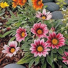 Drought-tolerant plants