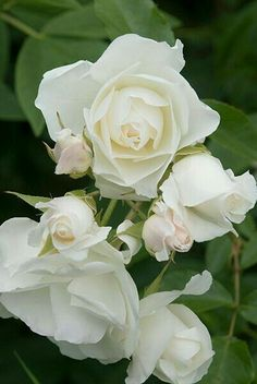Iceberg Rose 1'-2' Tall 1'-2' Wide Deciduous Blooms in Late Summer Needs Full Sun Plant in Fertile Soil that is Moist Growth Rate is Medium www.greenprintLED.com