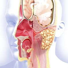 Paranasal sinuses are air-filled spaces present within some bones around the nasal cavities. The sinuses are Frontal, maxillary, sphenoidal, and ethmoidal. Paranasal Sinuses, Maxillary Sinus, Internal Carotid Artery, Nasal Cavity, Structure And Function, Cavities