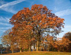PRANOSTIKA NA ŠTVRTOK 13. OKTÓBRA: Keď sa drží list v mesiaci októbri na stromoch pevne, to znamená krutú zimu