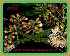 EUCALYPTUS OIL Simplicity Is Beauty, Mosquitos, Beauty Forever, Eucalyptus Oil, Life Form, Eco Friendly, Flora, Plants, Nature