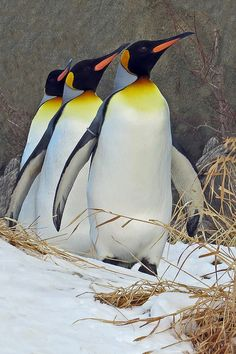 """This article will answer the question """"what do emperor penguins eat?"""" both in the wild and in captivity. It will also show you some remarkable facts about this wonderful bird species. Penguin World, King Penguin, Penguin Love, Cute Penguins, Penguin Parade, Penguin Facts, Penguin Craft, Beautiful Birds, Animals Beautiful"""