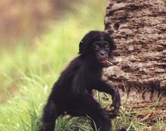 young bonobo caught smokin'