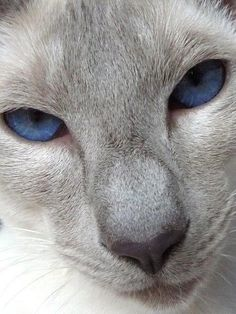Art and photos of the Siamese Cat. Siamese/Orientals cats                                                                                                                                                      More