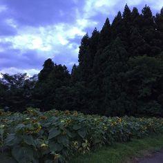 【mihaiwas14】さんのInstagramをピンしています。 《夕方のひまわり畑 ゴッホみたいなひまわり 撮りたかった(笑) * * 今日も30℃超え 夕方に見たひまわりは 成長して花が重いのと 猛暑の日々で 俯いてた * * 明日も暑いんだろうなぁ 花もお疲れさま🌻🌻🌻 * * * #ひまわり #向日葵 #ヒマワリ #ひまわり畑 #風景 #森 #空 #夏 #秋田 #東北 #iPhone #sunflower #sunflowers #flower #flowers #summer #landsape #japan #俯く花をいつかかっこよく撮ろう #イメージ先行 #ひまわりは悲しいイメージあり #あの映画のせいかなぁ #真夜中のつぶやき》